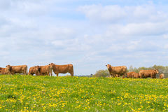 Limousin cows in landscape Stock Photo