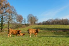 Limousin cows in landscape. Cattle Limousin cows in green French landscape Royalty Free Stock Photo