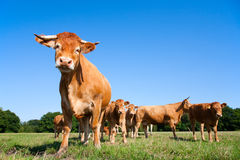 Limousin cows. In the meadow Stock Image