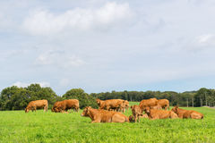 Limousin cows Royalty Free Stock Photos