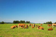 Limousin cows Stock Photos