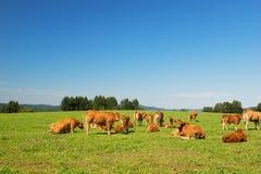 Limousin cows Stock Photos