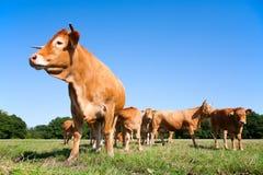 Limousin-Kühe Lizenzfreies Stockbild