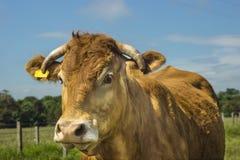 Limousin ko Royaltyfri Foto