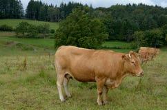 Limousin ko Royaltyfri Bild