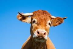 Limousin kor Fotografering för Bildbyråer