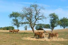 Limousin kor Arkivbild