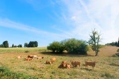 Limousin kor Arkivfoton