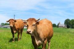 Limousin kor i Frankrike Fotografering för Bildbyråer