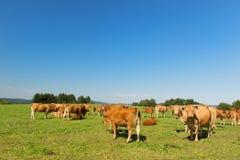 Limousin krowy Zdjęcia Stock