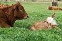 Limousin vermelho Bull e vitela Fotografia de Stock