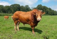Limousine bull royalty free stock photo