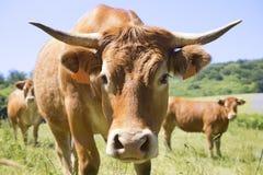 Limousine cow Stock Photos
