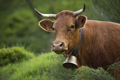 Limousine cow in the grass, Vosges, Bussang Royalty Free Stock Photos