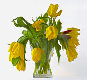 Limp bouquet of yellow tulips. In a vase of glass Stock Photo