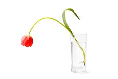 Limp drooping tulip. Weak, dropped tulip in a glass of water on a white background Royalty Free Stock Image