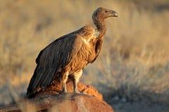 Limpando o abutre de dorso branco Fotografia de Stock Royalty Free