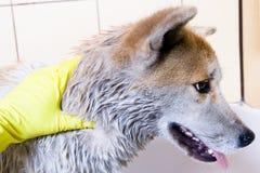 Limpando o cão Foto de Stock
