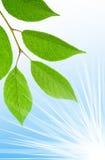 Limpe as folhas verdes Fotografia de Stock Royalty Free