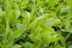 Limpe as folhas verdes frescas Fotos de Stock Royalty Free