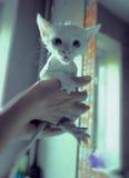 Limpe o gatinho Foto de Stock