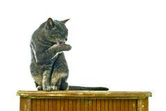 Limpe o gato Fotos de Stock