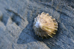 Limpet. Single limpet on a rock with evening side light royalty free stock photography
