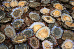 Limpet - edible snail Stock Photos