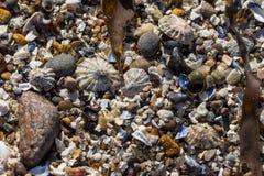 Limpetoberteile, Oberteile und Steine auf einem Strand Stockfotografie