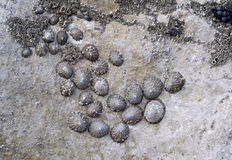 Limpets. Fixed to rock stock photo