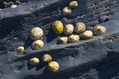Limpets Royalty Free Stock Images