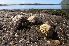 Limpets em uma rocha Foto de Stock