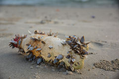 Limpets Royalty Free Stock Photography