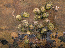 Limpets and Snails. A cluster of multiple Limpet and Snail species photographed in the inter-tidal zone of Botanical Beach near Port Renfrew BC Royalty Free Stock Images