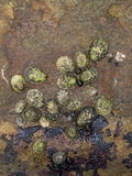 Limpets and Snails. A cluster of multiple species of Limpet and Snail species photographed in the intertidal zone of Botanical Beach near Port Renfrew BC Royalty Free Stock Photos