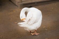 Limpeza branca própria do ganso Pássaro doméstico Exploração agrícola Imagens de Stock