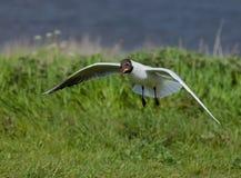 Limpeza de cabeça negra da gaivota Fotografia de Stock