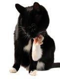 Limpeza do gato Imagem de Stock Royalty Free