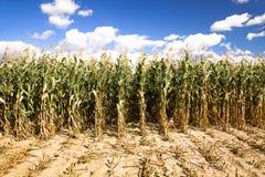 Limpeza do milho Imagens de Stock