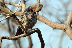 Limpeza do pássaro Imagens de Stock Royalty Free