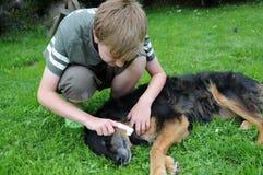 Limpeza dos dentes de cão Fotos de Stock