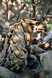 Limpeza nublada do leopardo fotos de stock