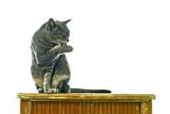 Limpie el gato Fotos de archivo