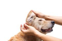 Limpie el oído del ` s del perro foto de archivo libre de regalías