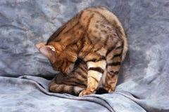 Limpieza adulta del gato Fotografía de archivo libre de regalías