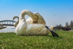Limpieza blanca del cisne y relajación en la hierba verde Imagen de archivo