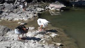 Limpieza de Gooses Fotos de archivo