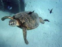Limpieza de la tortuga de mar Imagen de archivo