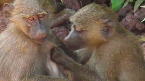 Limpieza de los babuinos del bebé almacen de video