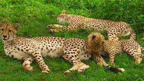 Limpieza de los cachorros del guepardo almacen de video